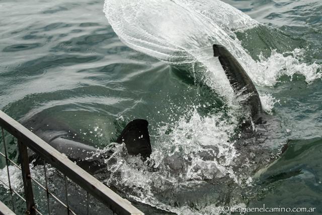 tiburonpegandoenlajaula