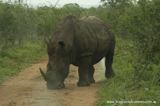 rinoceronteblanco